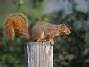 Eastern Fox Squirrel