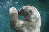 Polar Bear (Thalarctos maritimus) captive