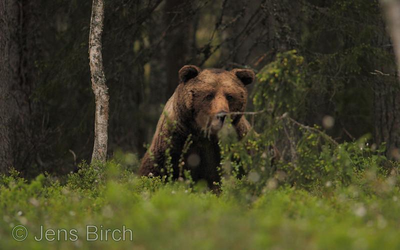 A large male <b>Eurasian brown bear</b>  (<i>Ursus arctos arctos</i>), Hälsingland, Sweden, June 2010 En stor brunbjörnshane i hälsingeskogarna, Juni 2010.