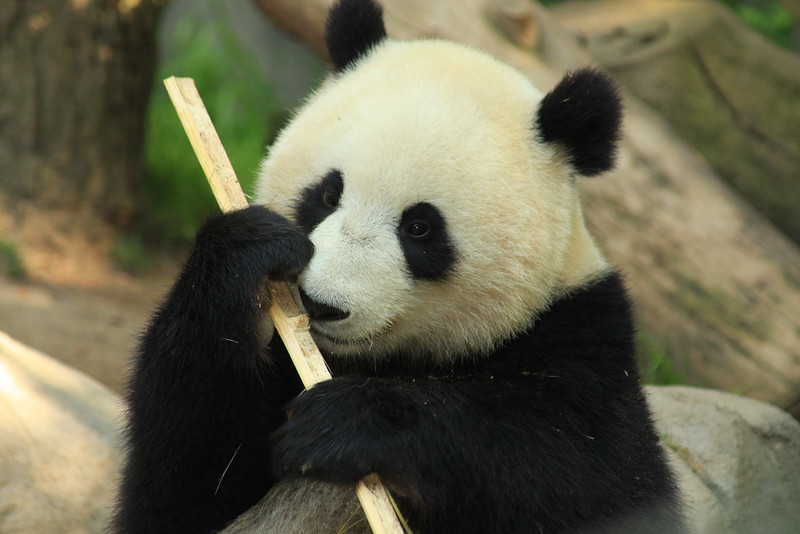 Giant Panda (Ailuropoda melonoleuca) captive