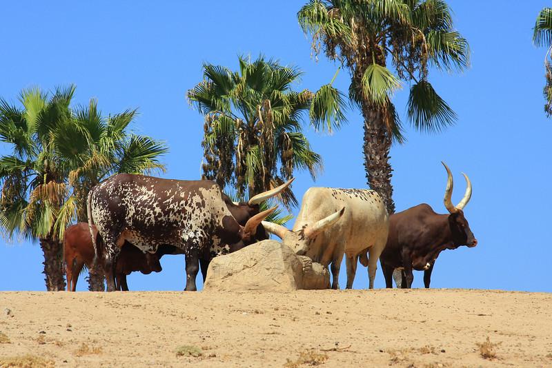 Ankole Cattle (Bos)