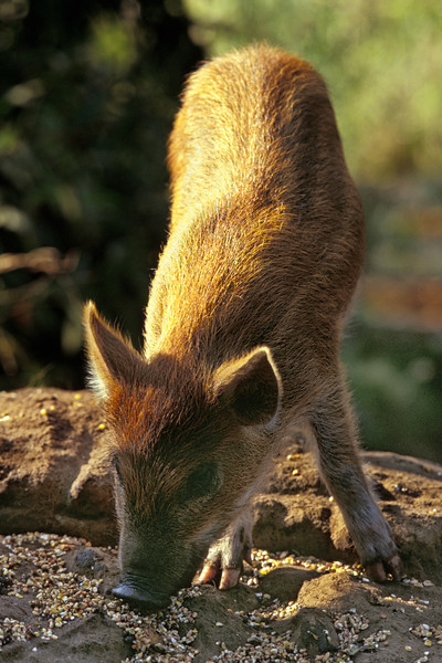 wild pig or pua'a (H), Sus scrofa, scavenges grain left for livestock on farmland,<br /> Big Island of Hawaii ( Central Pacific Ocean )