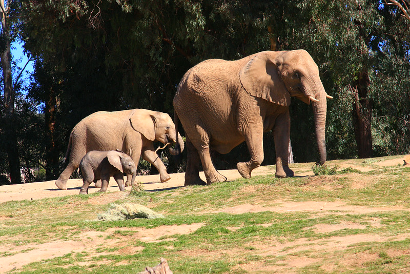 African Elephant Family (Loxodonta africana) captive