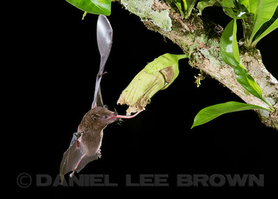NECTAR BAT , Common Long-tongued Bat