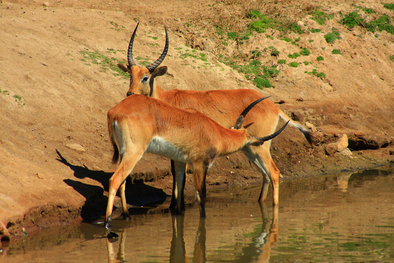 Red Lechwe (Kobus leche) captive