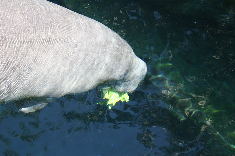 West Indian Manatee up close in a Florida spring
