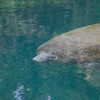 Large manatee at Homosassa Springs, Florida