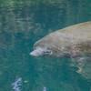 Large manatee at Homosassa Springs, Florida
