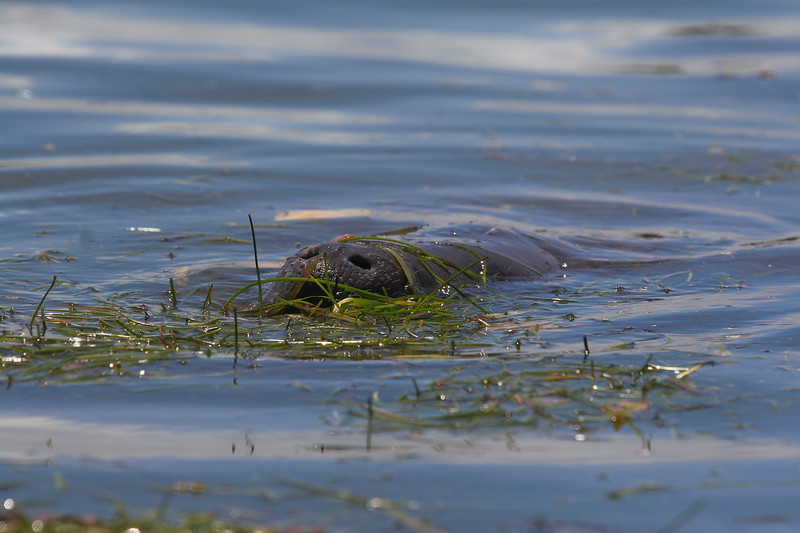 Large manatee feeding along the shore of a saltwater inlet in Captiva, Florida