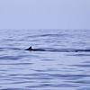 Minke Whale Balaenoptera acutorostrata_SanDiegoCo_CA_06Oct2012-7320