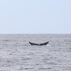 Blue Whale Balaenoptera musculus _SanDiegoCo_CA_06Oct2012-7457