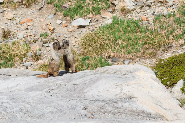 Pair of hoary marmots standing and pushing in Mount Rainier National Park