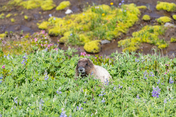 Hoary Marmot at Mount Rainier in lupine patch in front of stream
