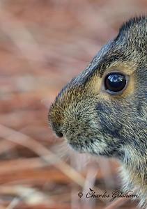 Marsh Rabbit / Saint Andrews Park, Florida - GPS / October 11, 2014
