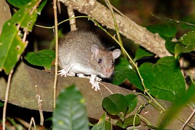 Giant White-tailed Rat