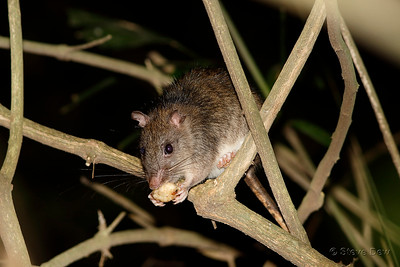 Giant White-tailed Rat