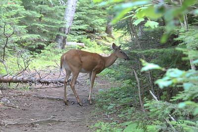 White-tailed Deer, Odocoileus virginianus  Centennial Park, Thunder Bay, Ontario