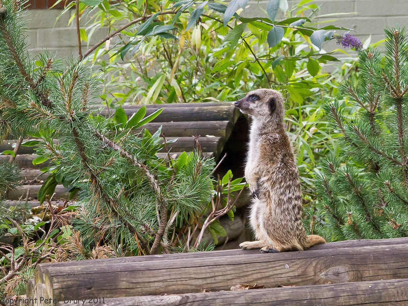 03 July 2011. Meerkat at Marwell Wildlife. Copyright Peter Drury 2011