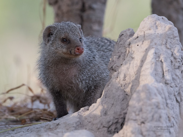 Banded Mongoose, Khwai River Concession, Botwana, May 2017