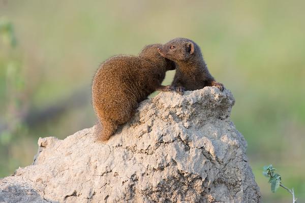 Dwarf Mongoose, Kruger NP, SA, Sept 2015