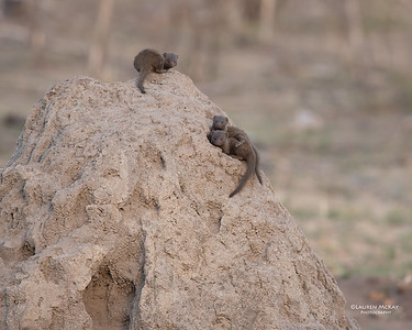Dwarf Mongoose, Sabi Sands (EP), SA, Oct 2016-2