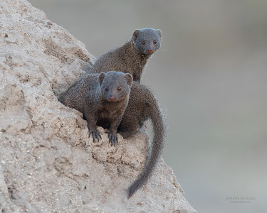 Dwarf Mongoose, Sabi Sands (EP), SA, Oct 2016-1