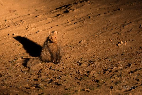 White-tailed Mongoose, Sabi Sands (EP), SA, Oct 2016-1