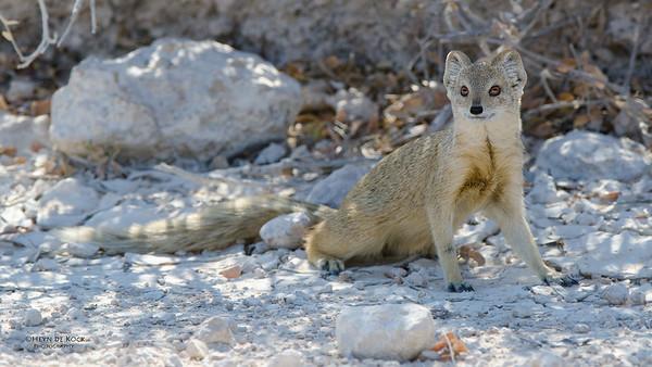 Yellow Mongoose, Etosha NP, Namibia, July 2011