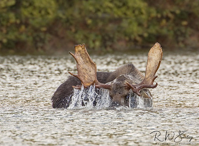 Bull Moose Drains Water From Antlers
