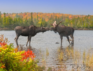 Moose Smooch