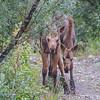 Mischievous Moose