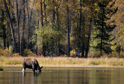 Moose-157