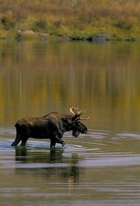 Moose-149