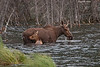 Cow Moose with calf.