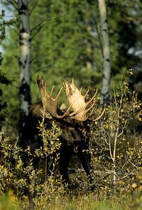 Moose-136