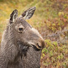 Moose, Skerwink Trail, Port Rexton, Newfoundland
