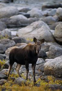 Moose-114