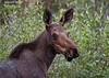 Moose portrait.
