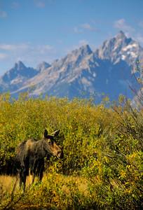 Moose-147