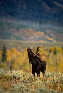 Moose-115