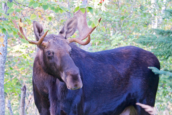 Moose - Bull - Little Marais, MN