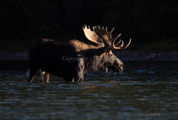 Bull Moose in Evening Light, GNP