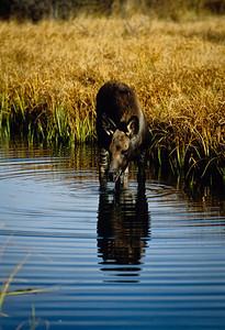 Moose-103