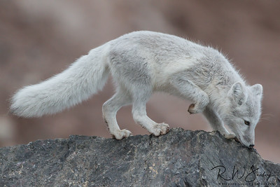 Arctic Fox in Transition
