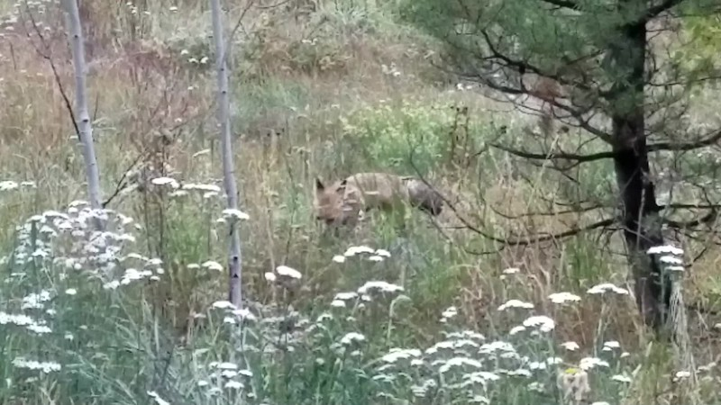 Red Fox Follows Its Nose