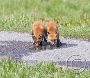 Red Fox Kits Drinking Buddies