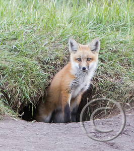Red Fox Kit in Black Fox Hole