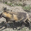 Tricolor Fox in a Trot