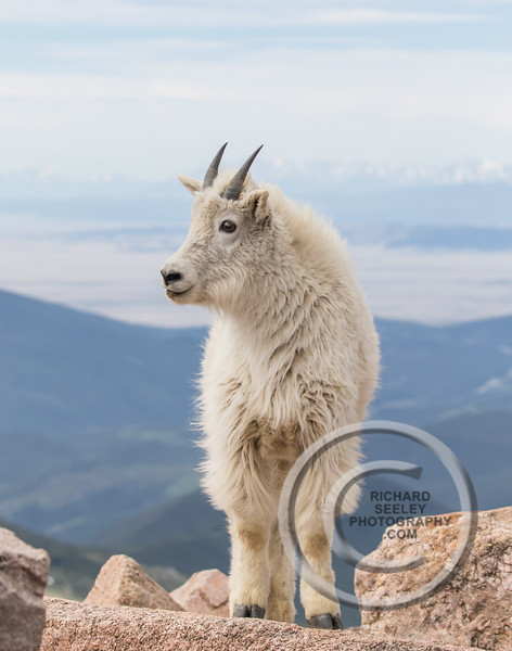 Young Mountain Goat