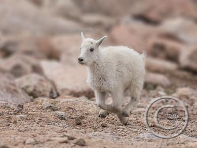 Galloping Goat